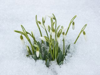 Galanthus, Snowdrop, Winter Blooming Shutterstock.com New York, NY