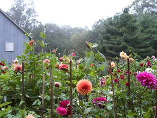 Growing dahlias planting caring for dahlia flowers for Kingsbury garden designs