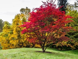 Japanese Maple Tree, Acer Palmatum Dreamstime ,