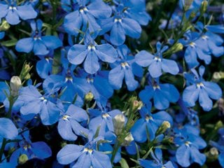 Lobelia – How to Plant, Grow and Care for Lobelia Plants