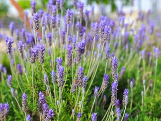Lavandula Dentate, French Lavender Garden Design Calimesa, CA