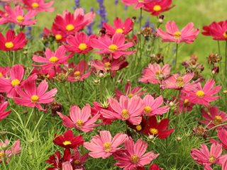 Pink Cosmos Annual Flowers Pixabay