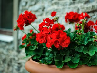 Red Geranium, Potted Plant, Red Flower, Pelargonium Shutterstock.com New York, NY