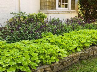 Sweet Caroline Bewitched Ipomoea, Green With Envy, Sweet Potato Vine, Garden Bed Proven Winners Sycamore, IL