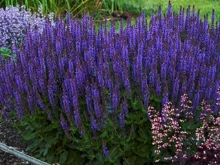 Violet Riot Salvia, Purple Flower, Salvia Plant Proven Winners Sycamore, IL