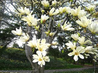 Growing Magnolia Trees Garden Design