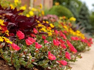 Portulaca Border Plants, Mojave Red Purslane Proven Winners Sycamore, IL