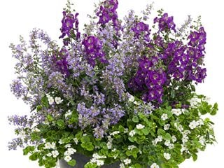 Garden Container, Container Recipe, Cat's Meow Catmint, Angelface Angelonia, Giant Snowflake Bacopa Proven Winners Sycamore, IL
