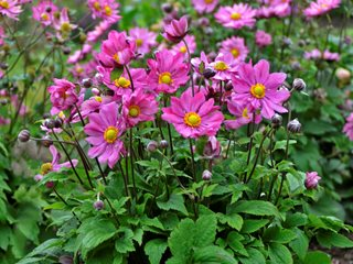 "Curtain Call Deep Rose Anemone, Anemone Hybrid ""Dream Team's"" Portland Garden Proven Winners Sycamore, IL"