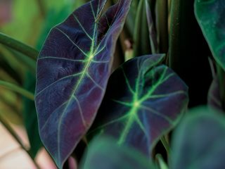 Illustris, Elephant's Ear, Colocasia Proven Winners Sycamore, IL