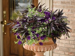 Truly Elegant Container, Illusion Midnight Lace Ipomoea, Supertunia Royal Velvet Proven Winners Sycamore, IL