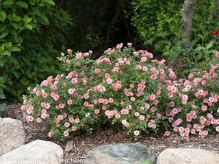 Oso Easy Petite Pink, Landscape Rose, Pink Rose Proven Winners Sycamore, IL
