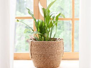 Peace Lily Plant, Spathiphyllum, Spath Shutterstock.com New York, NY