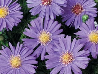 Sapphire Mist Aster, Purple Flower, Aster Proven Winners Sycamore, IL