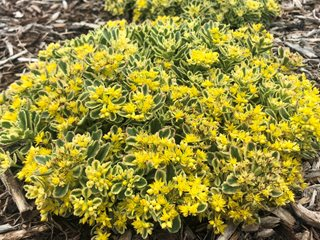 Boogie Woogie ground cover sedum