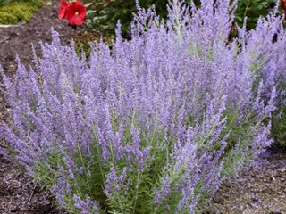 Russian Sage How To Grow And Care For Russian Sage Plants