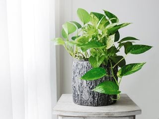 Pothos – A Guide to Growing and Caring for Pothos Plants - Garden Design