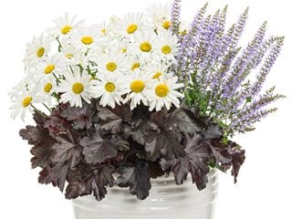 Unbreakable Heart Combination, Shasta Daisy, Heuchera, Salvia Proven Winners Sycamore, IL