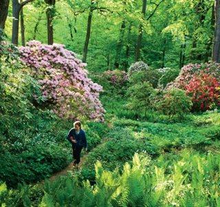 Rhododendron Revisited Garden Design