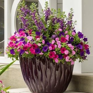 Violet Eclipse Container Recipe, Angelonia, Petunias Proven Winners Sycamore, IL