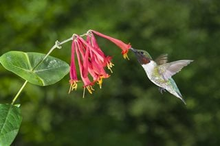 Honeysuckle Vine, Native Plant, Hummingbird Shutterstock.com New York, NY