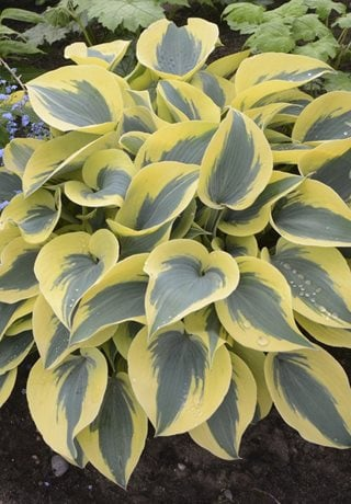 Shadowland Autumn Frost Hosta, Perennial Plant Proven Winners Sycamore, IL