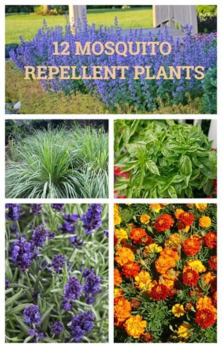 12 Mosquito Repellent Plants Garden Design