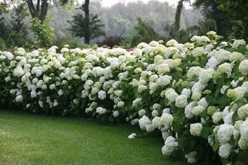 Incrediball Smooth Hydrangea, White Flowers, Landscape Shrub Proven Winners Sycamore, IL