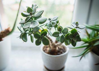 Jade Plant, Jade Houseplant, Jade TreeShutterstock.com New York, NY