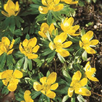 Eranthis Hyemalis, Winter Aconite Garden Design Calimesa, CA