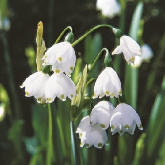 Deer Proof Bulb, Leucojum Aestivum An Eclectic Garden Delights with Unexpected Surprises Garden Design Calimesa, CA