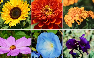 From Sunflowers To Dahlias Discover The Easiest Flowers Grow In Your First Garden