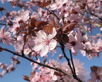 Purple leaf plum tree, Prunus Cerasifera