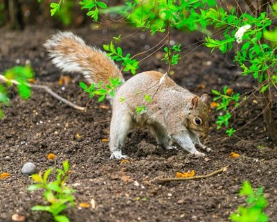 How to get rid of squirrels garden design - How to keep squirrels from digging in garden ...