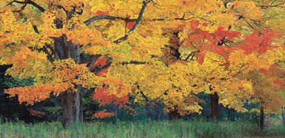 fall foliage sugar maple tree garden design calimesa ca - Garden Design Trees