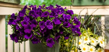 Royal Velvet Petunia, Purple Petunia, Annual Flower Growing and Arranging Sweet Peas Proven Winners Sycamore, IL
