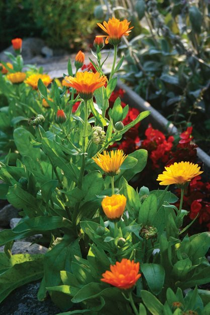 "Calendula Plants, Calendula Petals ""Dream Team's"" Portland Garden St. Lynn's Press Pittsburgh, PA"