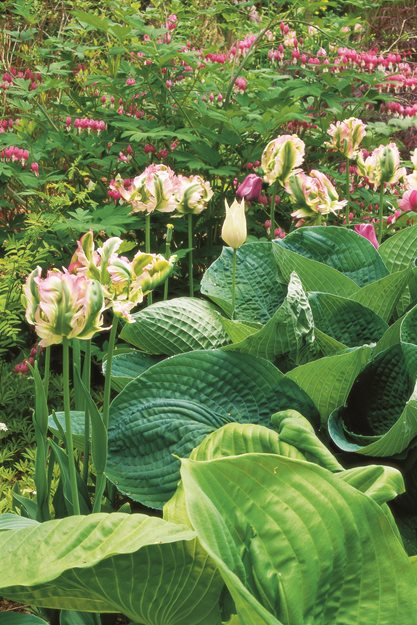 "Parrot Tulips, Hostas ""Dream Team's"" Portland Garden Garden Design Calimesa, CA"