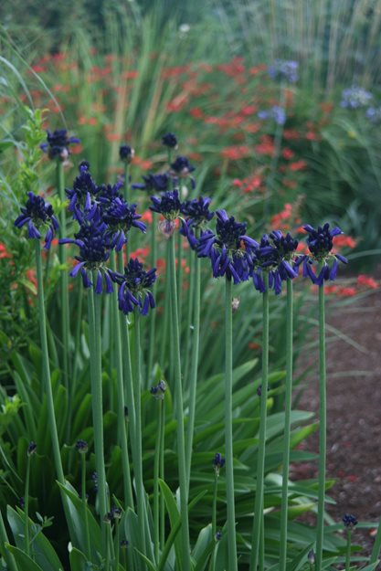Providing Tree And Plant Care: Agapanthus Plant Varieties & Care