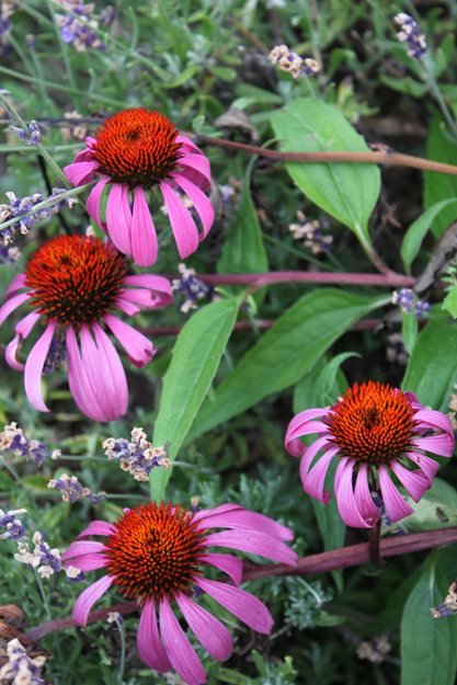 Echinacea Purpurea Magnus Johnsen Landscapes & Pools Mount Kisco, NY