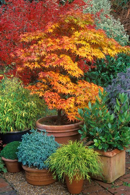 Japanese maples how to plant care and prune garden design for Garden design with japanese maple