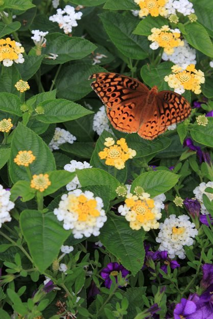 Lucky White Lantana, Superbells Blue Callibrachoa, Orange Butterfly Johnsen Landscapes & Pools Mount Kisco, NY