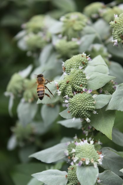 Mountain Mint, Bee Johnsen Landscapes & Pools Mount Kisco, NY