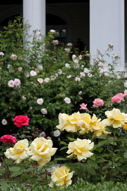 Rose Garden, Yellow Roses Johnsen Landscapes & Pools Mount Kisco, NY