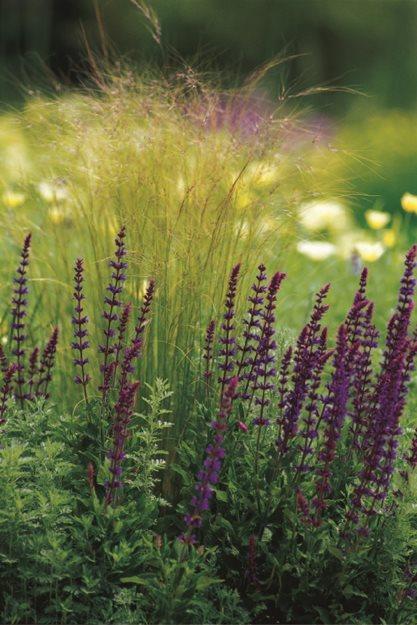 Salvia Verticillata Purple Rain Garden Design Calimesa Ca British Naturalistic Planting Garden Design