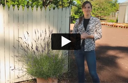 Burpee Lavender  Video Garden Design Calimesa, CA