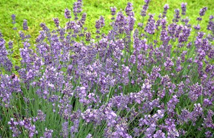 English Lavender, Munstead Burpee Warminster, PA