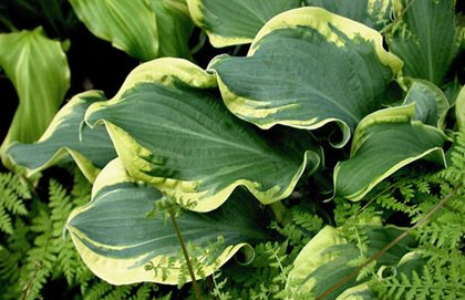 Hosta Whee, Shadowland Hosta, Ruffled Leaves Proven Winners Sycamore, IL