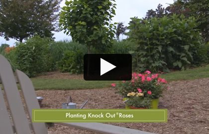 Knock Out Roses Care Planting Pruning Garden Design