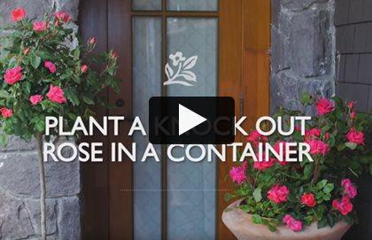 Knockout Roses Garden Design Calimesa CA